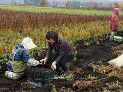新得、ユリ根の収穫。の中川郁子(ゆうこ)写真