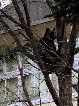 帯広市内にクマ出現の中川郁子(ゆうこ)写真