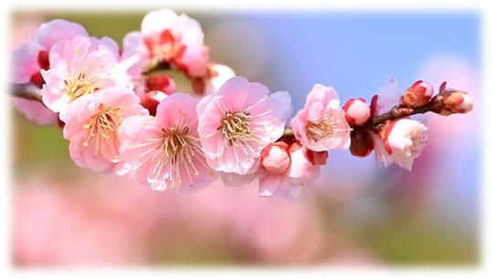 桜イメージ写真