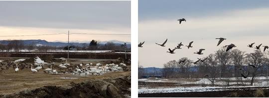 十勝から飛び立つ渡り鳥