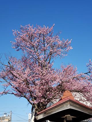 十勝帯広の桜