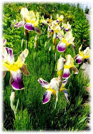 十勝の花々イメージ