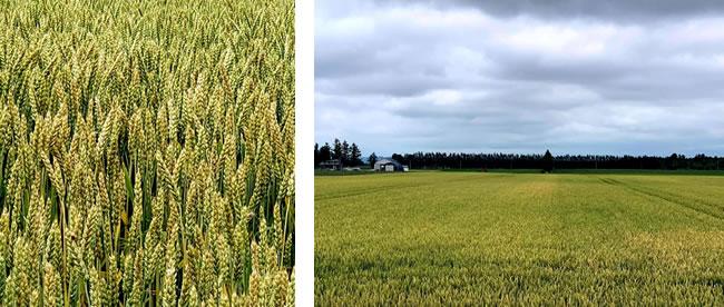 北海道十勝の小麦風景
