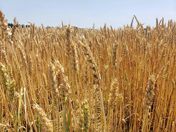 十勝の小麦