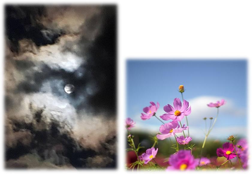 月とコスモスのイメージ写真